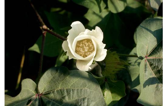 Cotton_plant